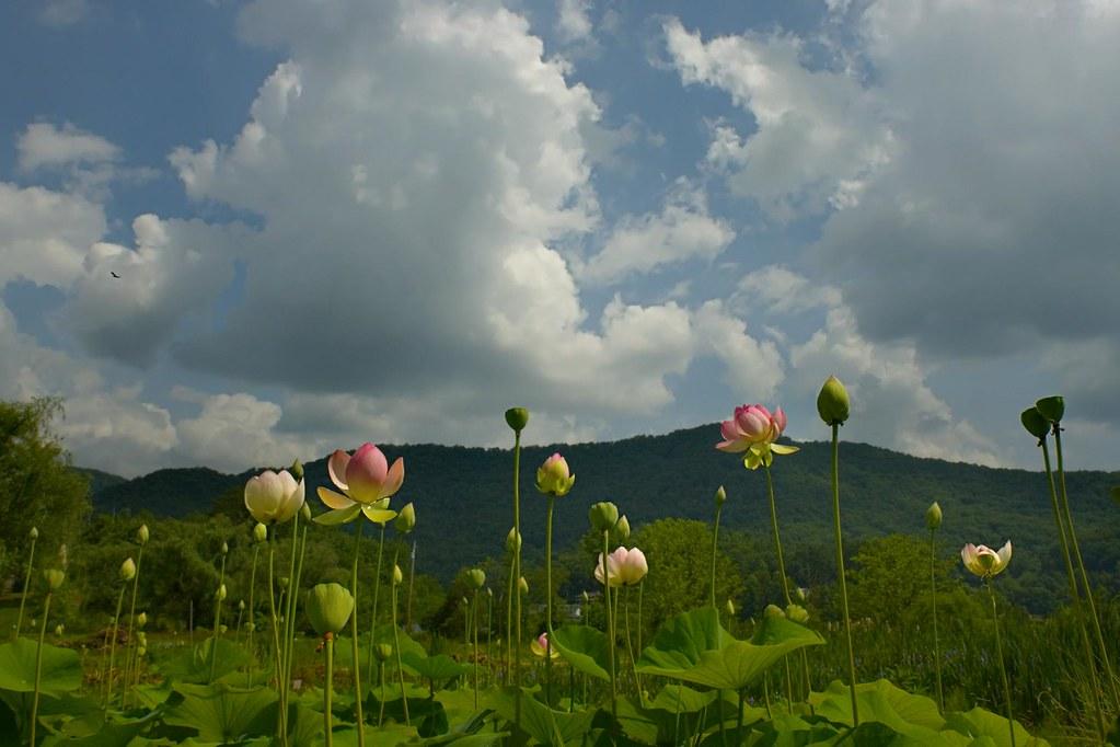 lotus 2 ©2007 RosebudPenfold