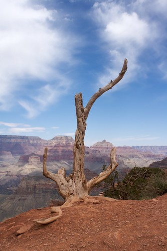 Tree against the Canyon