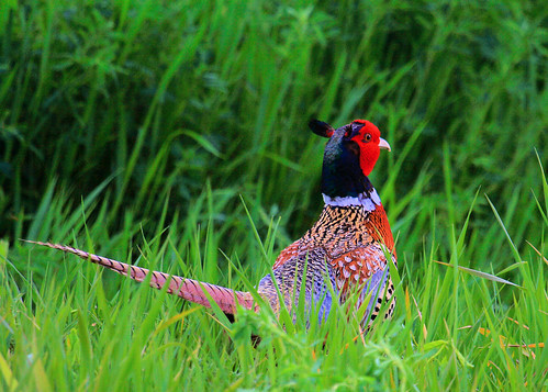 5x7 Ring-necked Pheasant IMG_9175