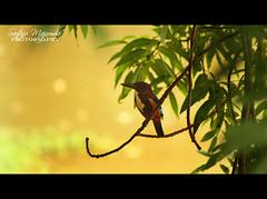 Kingfisher   LalBagh (get2shaan) Tags: life trees bird bangalore kingfisher cutting lalbagh bws bengaluru bws5thjune2010lalbagh