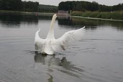 Swan (X'ian) Tags: swans cygnes schwne zwanen