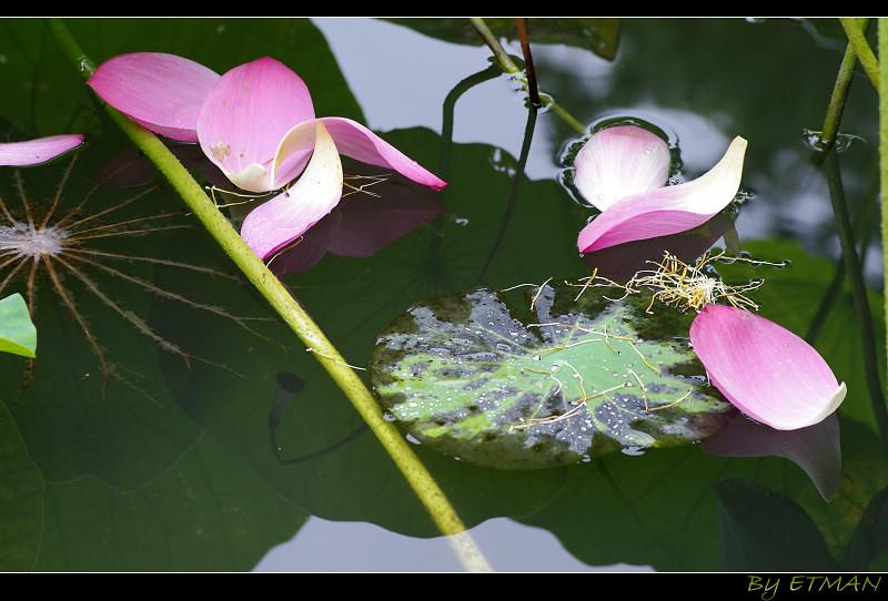 植物園  陰荷蓮花與其他  端午隨拍