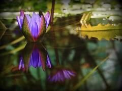 Fvszkert (red R) Tags: waterlily lily budapest botanicalgarden fvszkert liliom vizililiom