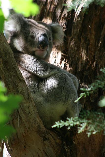 Koala at Diana's