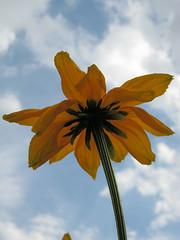 09.08.10 Parc floral Vincennes 013 (MUMU.09) Tags: photo foto bild rudbeckia  imagem          mumu09