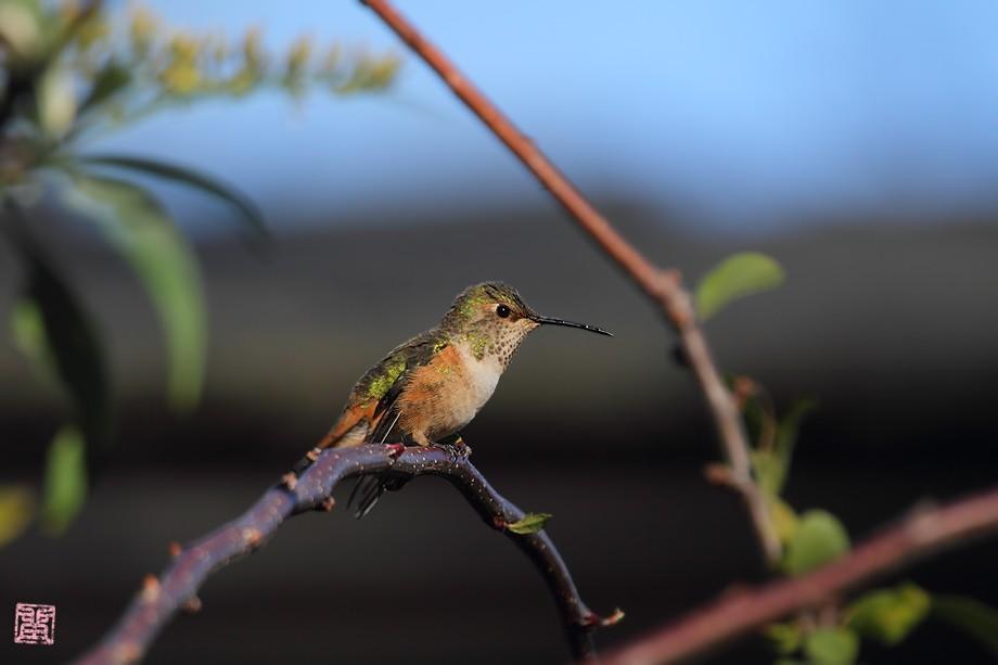 Allen's Hummingbird 111710-1