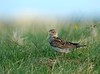 Skylark on nest, Tobha Mhor, South Uist (Niall Corbet) Tags: island scotland nest south outer uist skylark hebrides arvensis alauda howmore
