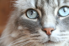 Mr. Easter (melanie.phung) Tags: seattle animals cat blueeyes animalportrait melaniephung