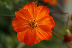 Flor_Mineira I (Fabio Floriano) Tags: flowers flores flower colors nova cores minas era 30d novaera valedoriodoce