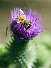 Bee&Thistle_5701 - by mtbjohn