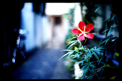 a red flower (moaan) Tags: life leica morning blue red summer flower 50mm alley dof midsummer bokeh hometown august alleyway flowering osaka leicam7 2007 earlyinthemorning m7 f095 kodakektachrome64 explored canonf095 inlife canon50mmf095 30faves30comments300views bokehwores gettyimagesjapanq1 gettyimagesjapanq2