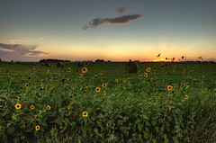 Sunflower-set (Fort Photo) Tags: flowers sunset sky green nature rural landscape colorado farm weld country sunflowers sunflower co hay plains bales 2007 naturesfinest colorphotoaward aplusphoto isawyoufirst irresistiblebeauty infinestyle goldenphotographer diamondclassphotographer