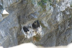 Oregon068.jpg (evanmitsui) Tags: oregon cormorants nesting archcape oswaldstatepark