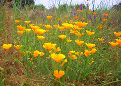 California Gold (tmrae) Tags: california poppies americanriver lakenatoma americanriverbiketrail vetch