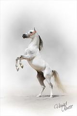 (Hamad Al-meer) Tags: horse white art animal canon eos gray amir kuwait hamad 30d 70200mm     almeer  alzain  hamadhd hamadhdcom wwwhamadhdcom
