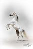 (Hamad Al-meer) Tags: horse white art animal canon eos gray amir kuwait hamad 30d 70200mm حمد امير الزين حصان almeer خيل alzain المير hamadhd hamadhdcom wwwhamadhdcom