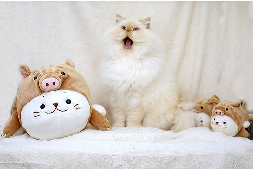 cute himalayan fluffy cat yawning