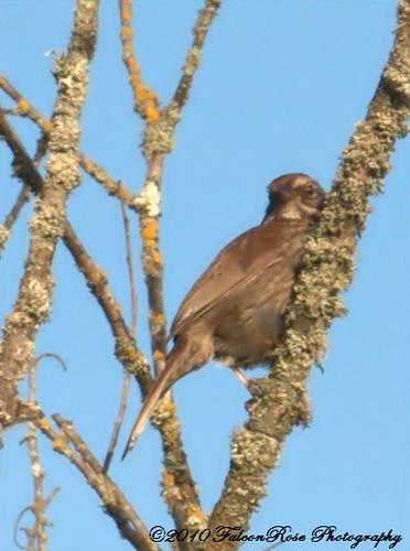 06-12-2010_song_sparrow