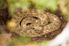 All coiled up with no place to go (Norby) Tags: nm backyard coiledup rattlesnake snake westernprairierattler newmexico flickrheroapp wilderness