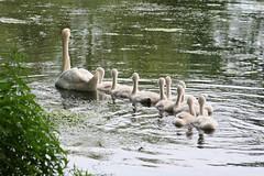Mir nach... (Mr.Pixel) Tags: swan schwan schwankken swanchicks
