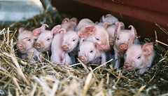 SFP web general piglets spencers brook