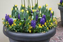 IMG_3128 (jdsa2001) Tags: flowers flores holland netherlands amsterdam gardens tulip bulbs holanda mayo jardines 2007 bulbos tulipanes keukenhoff