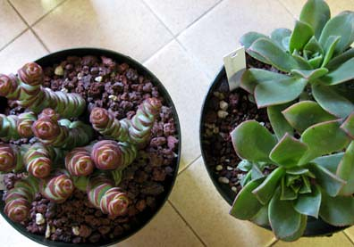 New Succulents