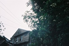 A jasmine ouside My home我家外面的七里香 - by theCarol