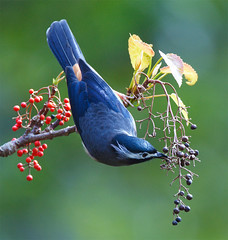 #3  (John&Fish) Tags: bird beautiful canon wonderful catchycolors bravo priceless picture taiwan vivid best chow trophy flickrcentral coolest 100club 2007 polaris smrgsbord peopleschoice naturesfinest blueribbonwinner flickrtoday naturescall supershot magicdonkey featheryfriday instantfave flickrsbest scientistphotographers specanimal animalkingdomelite abigfave flickrgold anawesomeshot colorphotoaward impressedbeauty aplusphoto 200750plusfaves avianexcellence wowiekazowie bratanesque ysplix flickrelitegroup theunforgetablepictures shinningstar birdingintaiwan colourartaward fiveflickrfavs bachspicsgallery bestofanimals