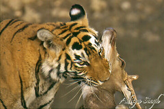 Tiger kill 1 (dickysingh) Tags: wild india nature outdoor wildlife tiger aditya choke ranthambore singh artphoto smrgsbord bengaltiger ranthambhore dicky tigerreserve tigerkill mywinners kuwaitphoto ranthambhorebagh kuwaitartphoto thatsbostin adityasingh dickysingh ranthamborebagh kuwaitart theranthambhorebagh