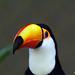 Tucano - tucanuçu