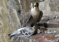 Peregrine Falcone near plymouth  with a wood pigion catch (spw6156) Tags: wood copyright woods with near steve plymouth falcon catch nationaltrust falcons raptors waterhouse peregrine pigion plymbridge peragrin cannquarry spw6156 stevewaterhouse plymperegrineproject plymbridgeperegrinefalcons copyrightstevewaterhouse