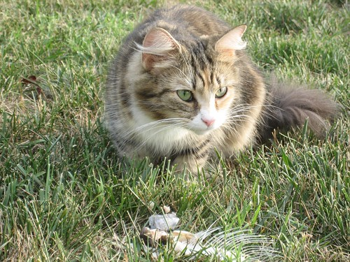 Wild Kingdom in the Backyard- Stray Cat and Fish