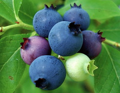 A Berry Good Day (shantaya ~ dannie) Tags: pink blue white green nature yummy purple maine blueberries exoticfruit naturesfinest wildblueberries bej frhwofavs bestofbestnature flickrelite naturewatcher