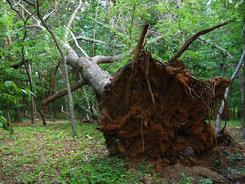 photo of uprooted tree, facing the light brown soil and roots