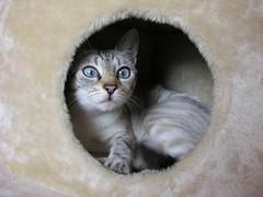 La Guisla amagada (PCB75) Tags: cat kat blueeyes tabby