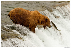 Lives for Another Day (Thi) Tags: bear park brown fall water waterfall salmon national grizzly brooks brownbear salmonrun grizzlybear brooksfalls katmai katmainationalpark