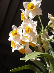 (No Dust) Tags: flowers pot narcissus blooming