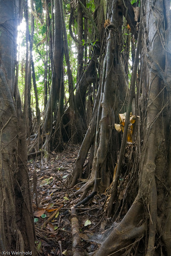 Banyan Trees in the Amazon Rainforest
