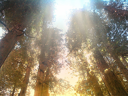 Redwoods drawn to light