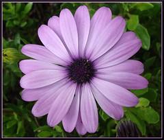 Lore bat (iosebasque) Tags: flower macro dof purple flor violet violeta lorea morada ltytr2 ltytr1 ltytr3 ltytr4 diamondclassphotographer bioleta