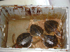 Sea Turtles recovered from Oil Spill Gulf of Mexico