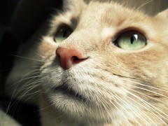 Sandy (ZoeTaylor) Tags: pink light sun sunlight white green eye up sunshine closeup cat fur nose eyes focus close fuzzy cream buff