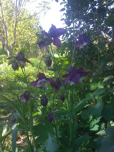 Aquilegia, or Columbine