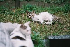 Stray cat (Yunhyok Choi) Tags: cat fuji pentax superia kitty 400 stray xtra fujicolorsuperiaxtra400 z1p