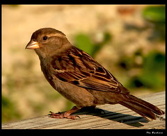Pardalzinho/Little Sparrow (Fla Barbieri (Cokin Girl)) Tags: bird sony pssaro sparrow h1 pardal 10faves animaladdiction specanimal cmeradeourobrasil superaplus aplusphoto avianexcellence superhearts