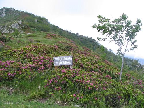 Rododendri verso l' Alpe Brengola