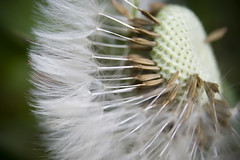 Dandelions (tamilian / photo-capture.co.uk) Tags: macro nature closeup canon flora sathish dandelions coch tamilian canon30d photocapturecouk