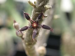 Rhytidocaulon macrolobum ssp macrolobum (epiforums) Tags: succulent asclepiadaceae asclepiad meadowbrookfarm rhytidocaulon