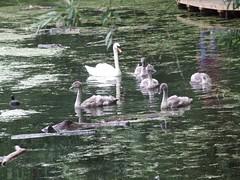 Family Outing (Elfleda) Tags: cambridge swan fuji finepix fujifilm gosling milton fujifinepix miltoncountrypark s9600